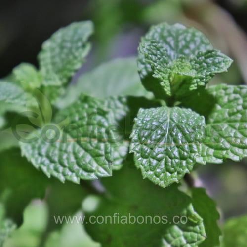 Plantas en bogota Colombia - matas - maticas - plantas medicinales - Viveros en bogota Colombia - jardineria - confiabonos